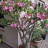 5 PCS / BAG Desierto rojo Raras semillas color de rosa Balcón Bonsai ornamentales flores Adenium obesum Semillas de absorción