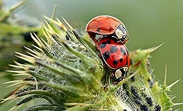 TwinterS 60 Marienkäfer-Larven zur Bekämpfung von Blattläusen