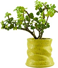 Giftffairs Good Luck Air Purifying Live Jade Plant in Yellow Colour Spiral Design Pot