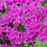 1 X Azalea 'Geisha Purple' Japanese Evergreen Shrub Hardy Plant in Pot