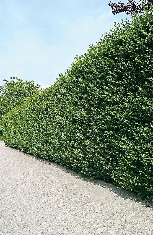 Ovalblättriger Liguster Ligustrum Ovalifolium Hecken Pflanze