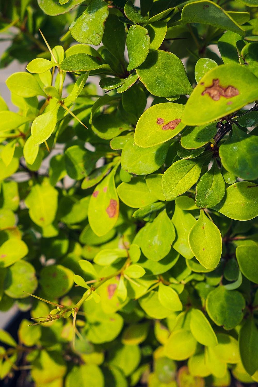 Grüne Heckenberberitze 20 30 cm Hecke schnellwachsend Busch für