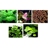 30 plantas flotantes para acuario en vivo (estanque) / 5 tipos diferentes - lechuga de agua, rana amazónica, musgo de hada, h