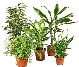 Zimmerpflanzen Grünpflanzen Mix nach Ihren Wünschen (3er/5er Mix)