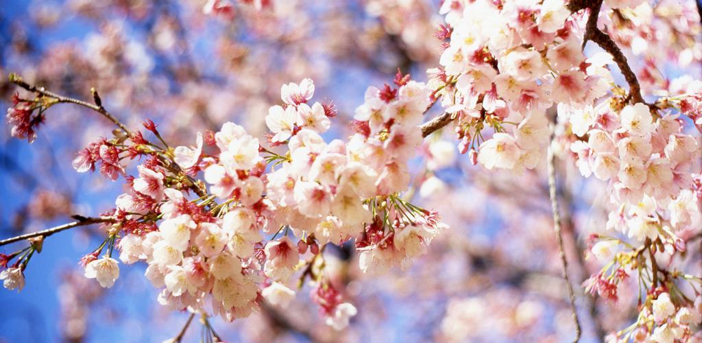 Wallpaper japanische kirschblüten  Kirschblüten Live Wallpaper: Amazon.de: Apps für Android