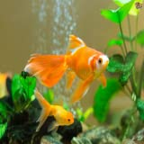 How to Care For Goldfish