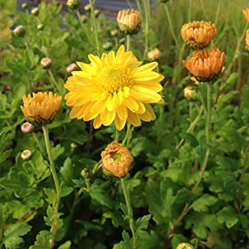 Lichtnelke Herbstchrysantheme Dendranthema Indicum X