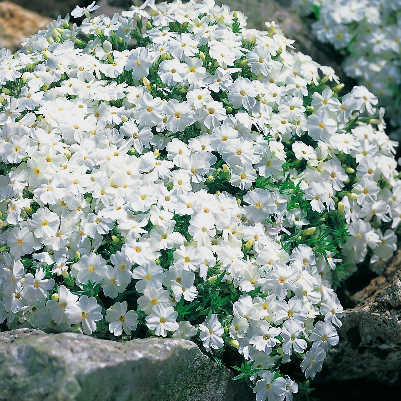 Weiße Staude Polsterphlox phlox subulata Bodendecker weiße