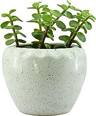Giftffairs Good Luck Air Purifying Live Jade Plant in White Colour Kangaroo Design Pot