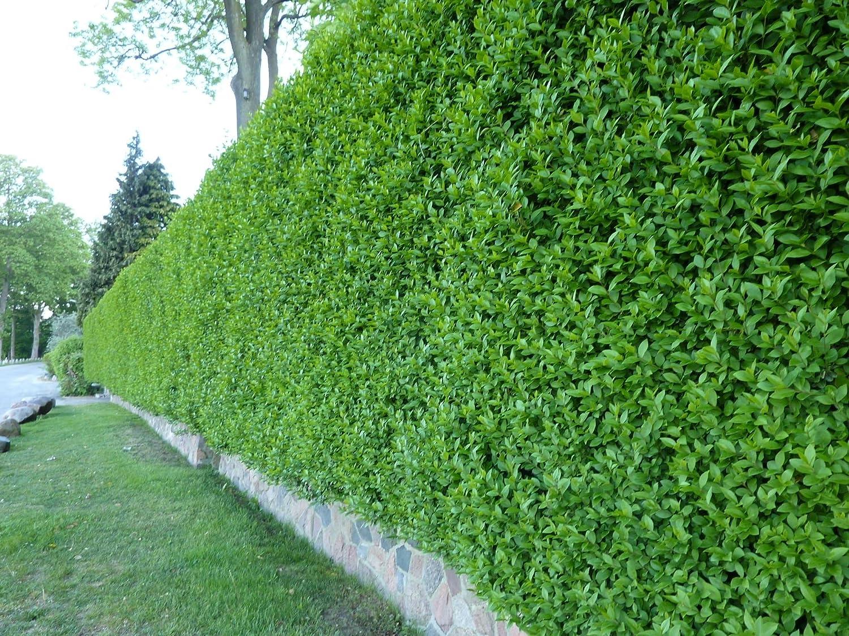 Wintergrüner Liguster Atrovirens Ligustrum vulgare als