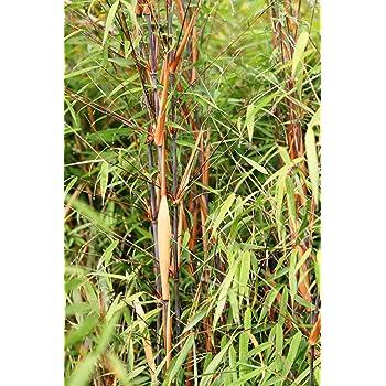 Bambus Fargesia Scabrida Asian Wonder Winterhart Keine