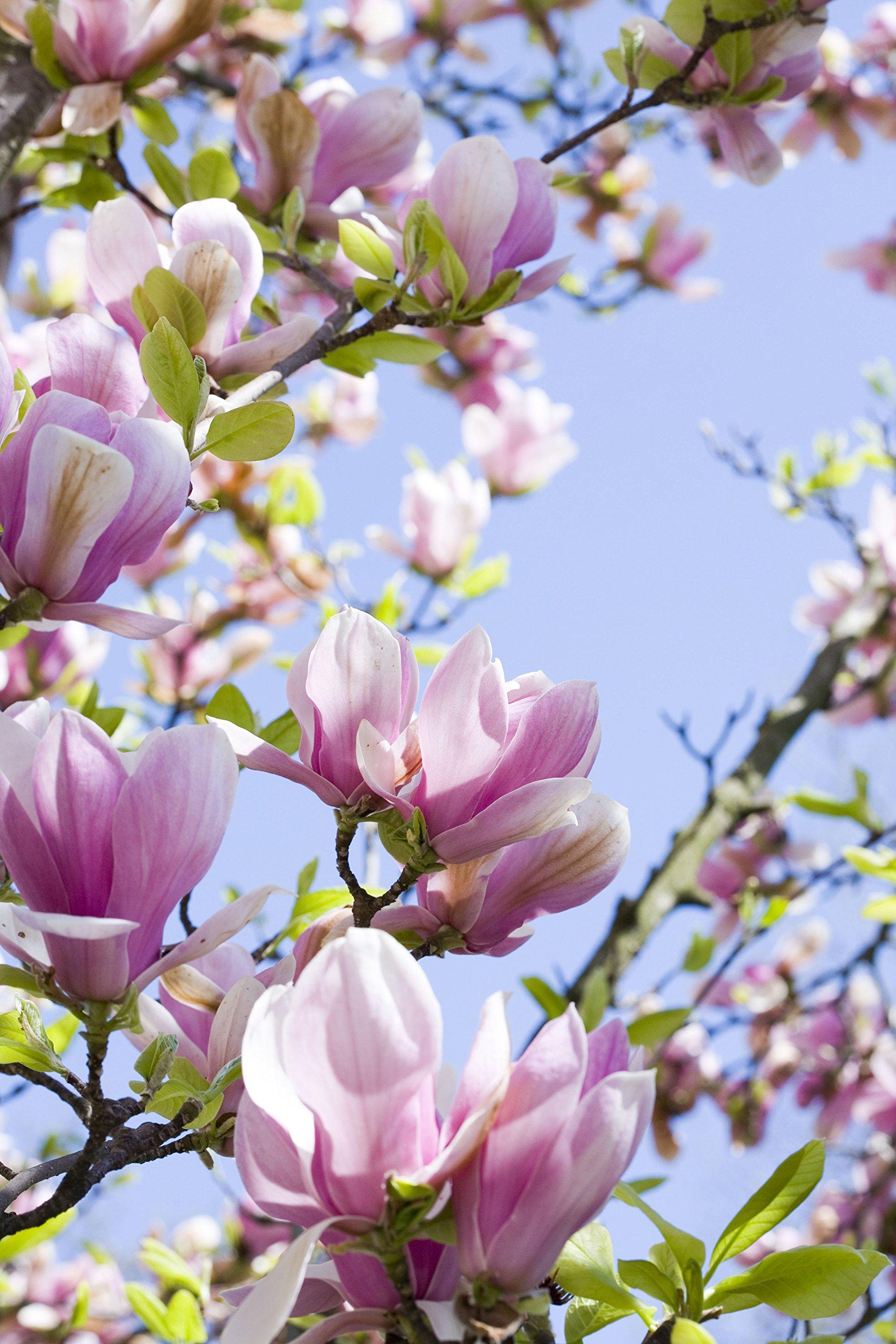 3x Magnolia Plants Garden Patio Trees Stelata Susan White Pink Flowering  Shrub