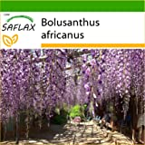 SAFLAX - Glicinia africana - 10 semillas - Con sustrato estéril para cultivo - Bolusanthus africanus