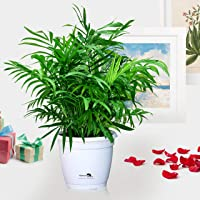 Nurturing Green Chamaedorea Palm Plant with Pot for home (Live Indoor Dwarf Areca Palm Plant with pot for livingroom, bedroom, office etc) - Air Purifying Plants for Home