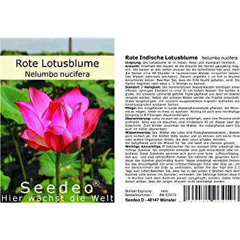 Lotus pink Nelumbo nicifera 3 Samen: Amazon.de: Garten