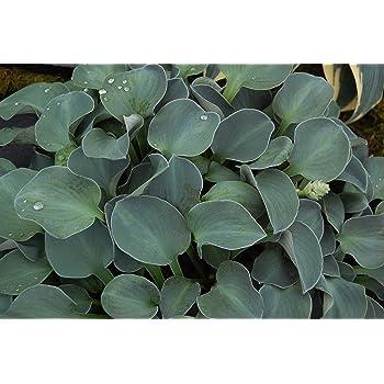 Hosta Blue Mouse Ears A Garden Tested Hardy Perennial Plant