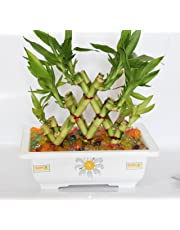 Holy Krishna's Bamboo Plant For Good Luck & Fortune With Positivity in natural surroundings (WITH DECORATIVE POT & MINERAL JELLY) + Laxmi ATM Card