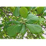 Asklepios-seeds® - 10 Samen von Seemandelbaum Terminalia catappa, Katappenbaum, Indischer Mandelbau