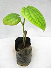 Shop 360 Betel Leaf Maghai Paan Live Plant - 1 Healthy Plant