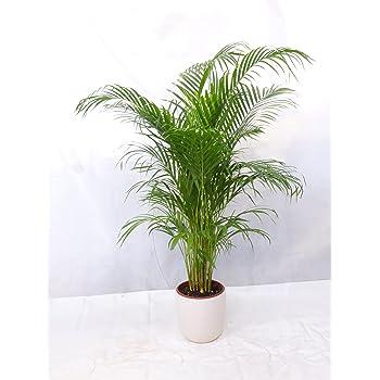 Zimmerpflanze XXL Areca Palme Goldfruchtpalme mehrstämmig150cm Büropflanze