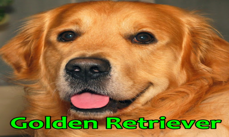 golden retriever appstore pour android. Black Bedroom Furniture Sets. Home Design Ideas
