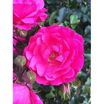 Bodendeckerrosen Pink Bodendecker Winterhart Mehrjährig Bodendecker