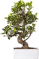 Exotic Green Indoor Plant 6 Year Old S Shape Ficus Bonsai In White Metal Pot
