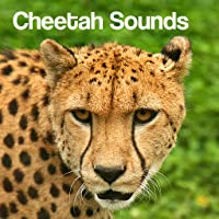Cheetah Sounds