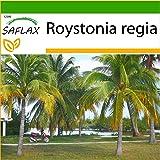 SAFLAX - Palmera real cubana - 8 semillas - Con sustrato estéril para cultivo - Roystonia regia