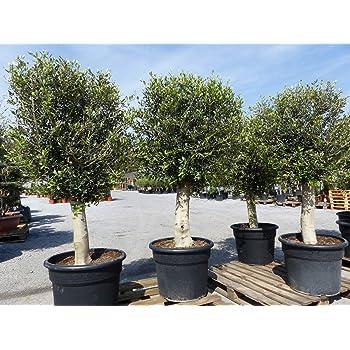 uriger, alter Olivenbaum, knorrige Olive 80-100 Jahre