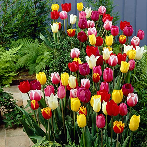 "30x Tulipa""60 Days of Tulips""   Mix di 30 Bulbi misti di tulipani   Bulbi di tulipani Resitenti all'inverno"