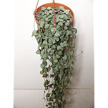 Large CEROPEGIA WOODII - String of Hearts, 16cm hanging pot. 80cm -100cm Vine