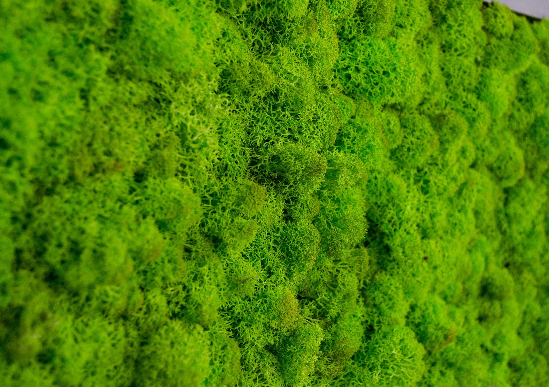 Islandmoosbild Moosbild Islandmoos Rentiermoos Moos Moosbilder Wandbild Wanddeko