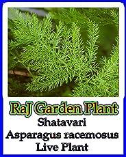 Shatavari, शतावरी , Asparagus Racemosus, Herbal Medicinal Live Plant, Satavar, Shatamull, Satawari, Satavari, shatavery, Live Plant