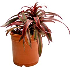 Root Bridges Cryptanthus Indoor Plant (Pot included)