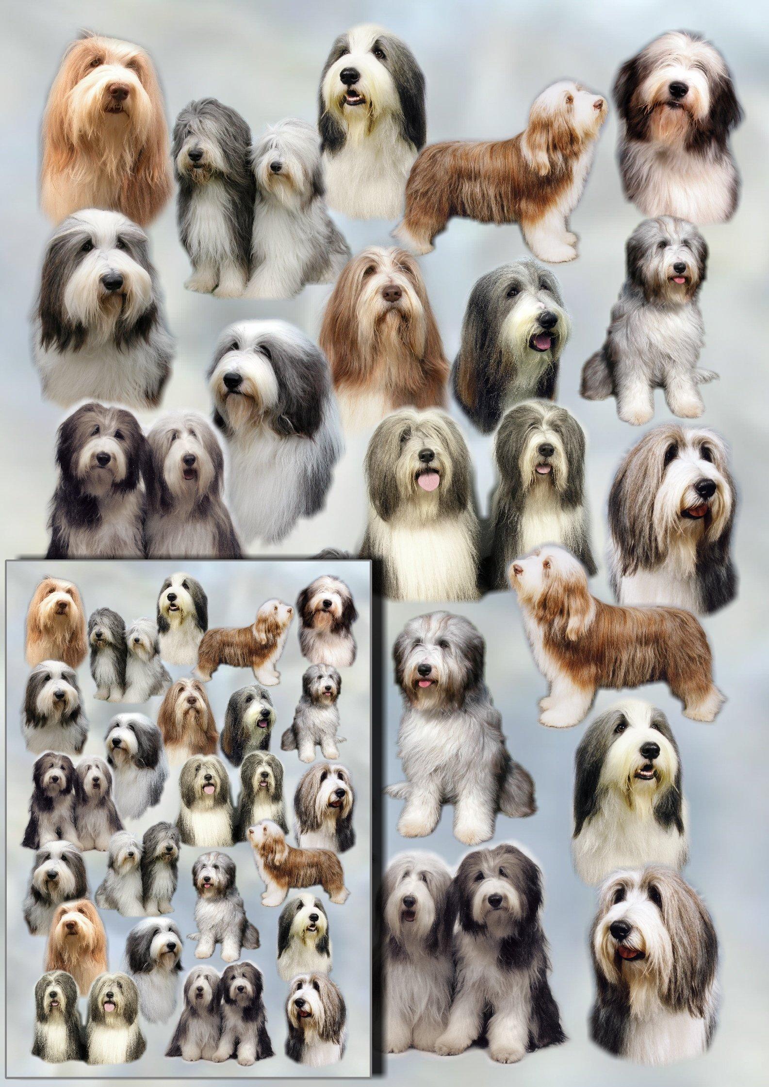 Bearded Collie Gift Wrapping Paper with Small Gift Card Design by Starprint