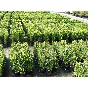 Buchsbaum Im Topf : 50 buchsbaum pflanzen im topf buxus sempervirens h he 15 20 cm garten ~ A.2002-acura-tl-radio.info Haus und Dekorationen
