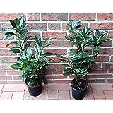 10 Kirschlorbeer Pflanzen, Prunus Novita, Höhe: 50-60 cm ab Topfoberkante