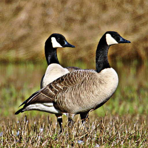 geese-great-sounds-flocking-to-ur-phone