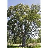 100 Semillas de Eucalyptus Camaldulensis