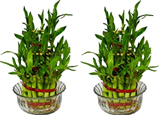 Green Ivy Lucky Bamboo Plant 3 Layer (Pack of 2)