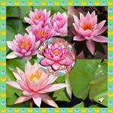 Seerose-Foto-Collage