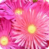 Aster Flowers Wallpaper
