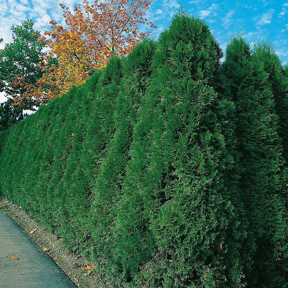 Thuja Brabant Occidentalis Lebensbaum winterhart & pflegeleicht
