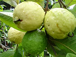 Azalea Garden Dwarf White Indonesian Seedless Guava Psidium Guajava, 1 Healthy Live Plant