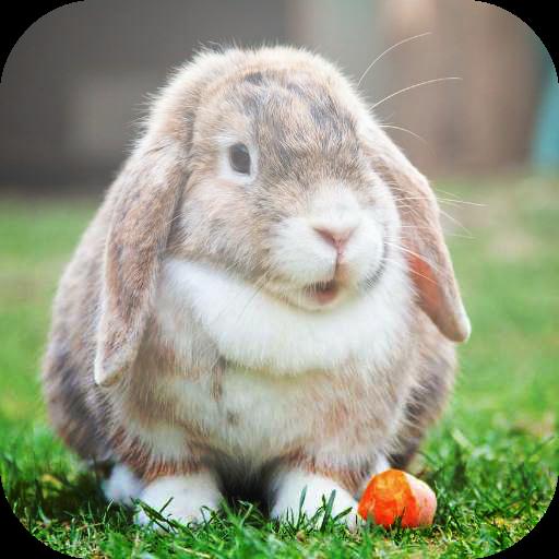 fondos-de-pantalla-de-conejo