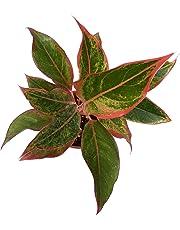 Root Bridges Indoor Lipstick Aglaonema Plant (Pot included)