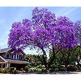 11.11 Venta grande! 50 / bolsa de semillas de rápido crecimiento Paulownia púrpura semillas de árboles raros para la decoraci