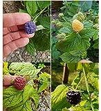 40x Himbeeren Mix Samen Saatgut Pflanze Rarität essbar Himbeere #12