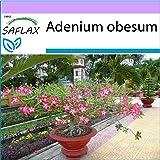 SAFLAX - Rosa del desierto - 8 semillas - Adenium obesum